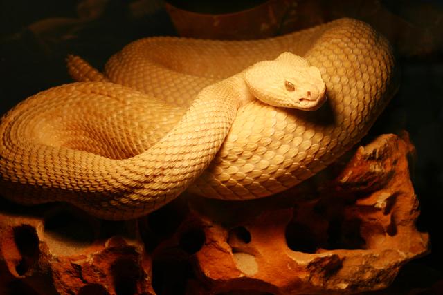 serpientes-venenosas