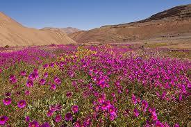 Destellito: El desierto florido
