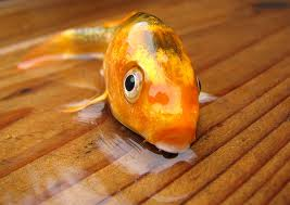 pez fuera del agua
