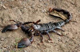Destellito: El Escorpión