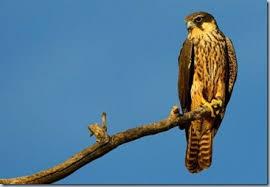 Reflexión: El halcón que no podía volar