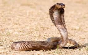 Reflexión: La Cobra