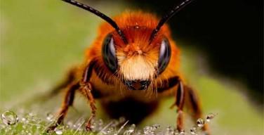 abeja-enfurecida