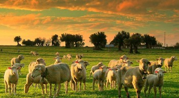 oveja al redil