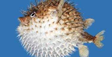 pez-globo