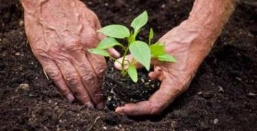 anciana-plantando