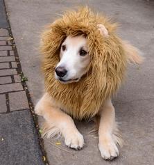 perro leon
