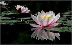 Efecto flor de loto