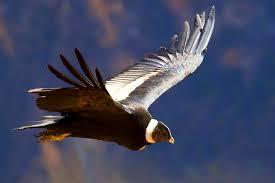el condor de los andes